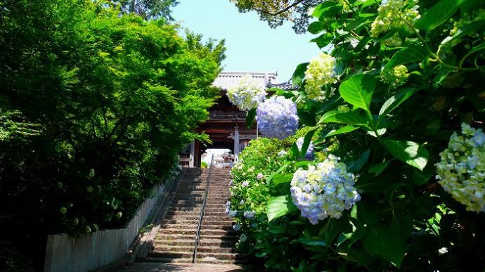 長慶寺紫陽花 (1)re